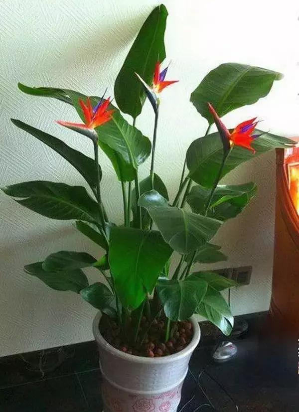 鹤望兰四季常青,叶片宽大,花形奇特,像展翅的鸟儿一样,具有非常高的